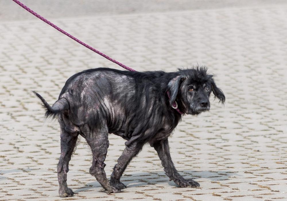 Eine schwarze Hündin wurde vollkommen abgemagert und krank im Tierheim abgegeben. Nun wird nach dem Halter gesucht. Foto: Tierschutzverein Salzgitter und Umgebung e.V.