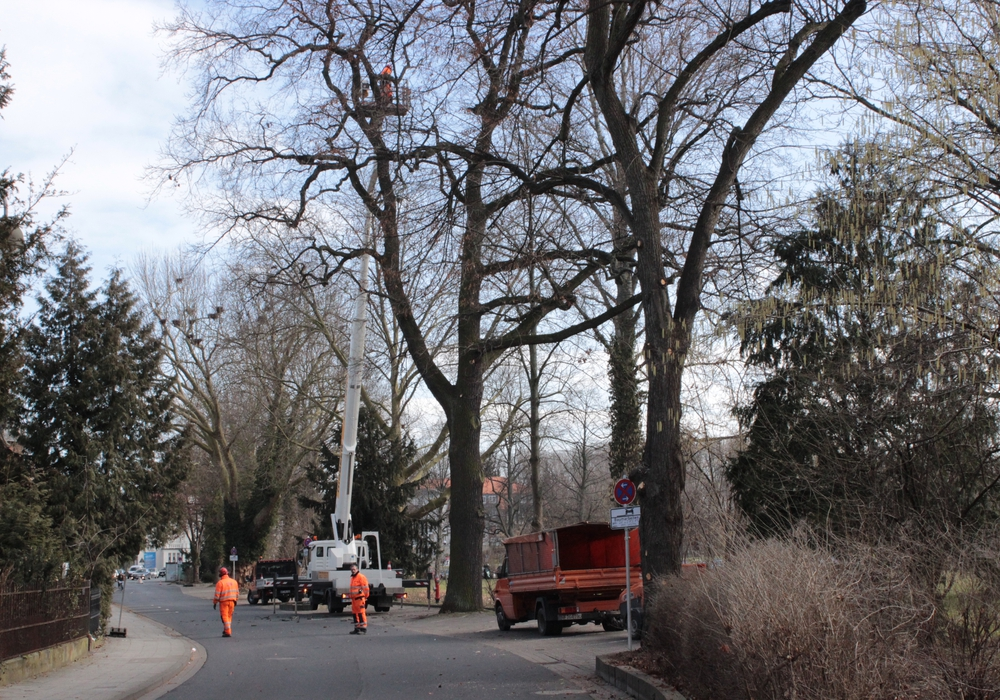 Zwei Bäume vor der Turnhalle am Landeshuter Platz sind schwer beschädigt worden, so dass sie am kommenden Montag gefällt werden müssen. Foto: Archiv