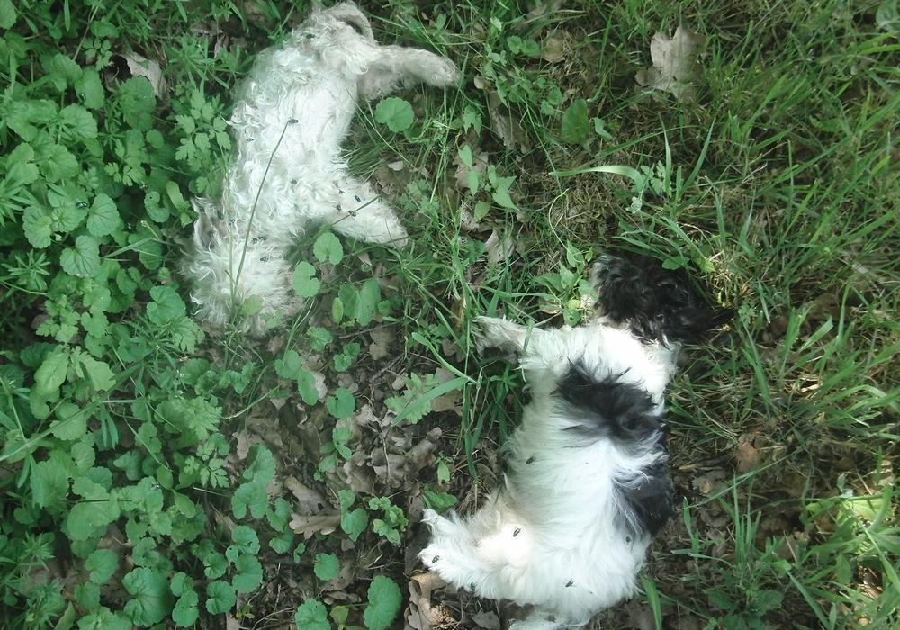 Die beiden kleinen Hunde wurden auf einem Verbindungsweg zwischen Eickenrode und Edemissen auf Höhe eines Rückhaltebeckens aufgefunden. Die Todesursache der Tiere ist bislang nicht bekannt. Die Ergebnisse der pathologischen Untersuchungen stehen noch aus. Die Polizei hat zwischenzeitlich ein Ermittlungsverfahren wegen des Verdachts auf Verstoß gegen das Tierschutzgesetz eingeleitet. Foto: Polizei Salzgitter