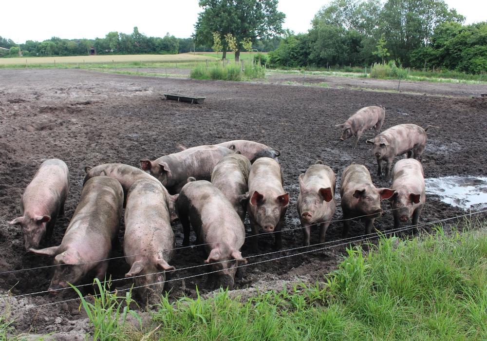 13 Betriebe im Landkreis Wolfenbüttel produzieren Bio-Lebensmittel. Darunter sind sechs Höfe, die Schweine halten. Symbolfoto: Jan Weber
