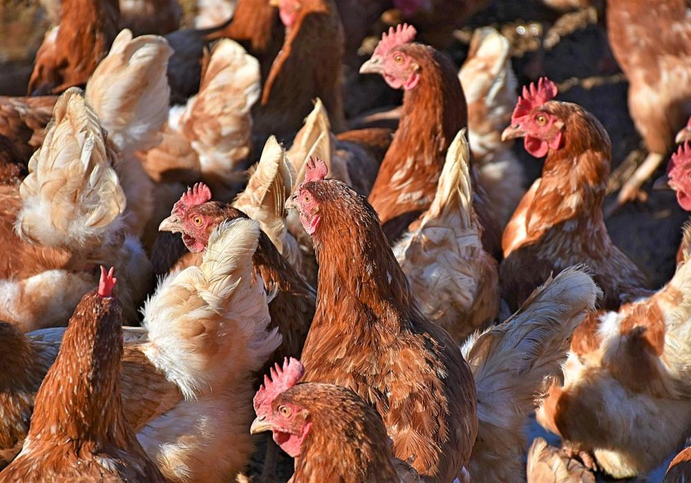 Sabotageaktionen an Tierhaltungsbetrieben ist nur ein Bereich, in dem militante Tierschützer straffällig werden. Symbolfoto: pixabay