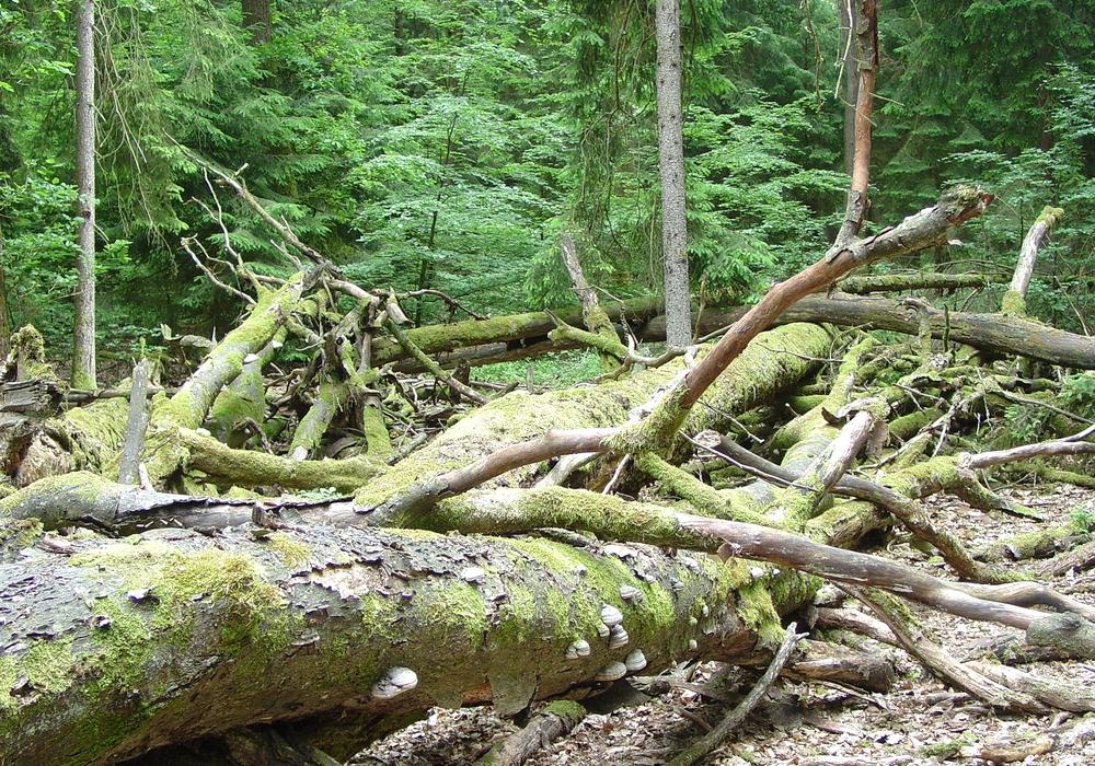 Allein im Harz und südöstlichen Niedersachsen sind es 16.700 Hektar Wald. Foto: NLF
