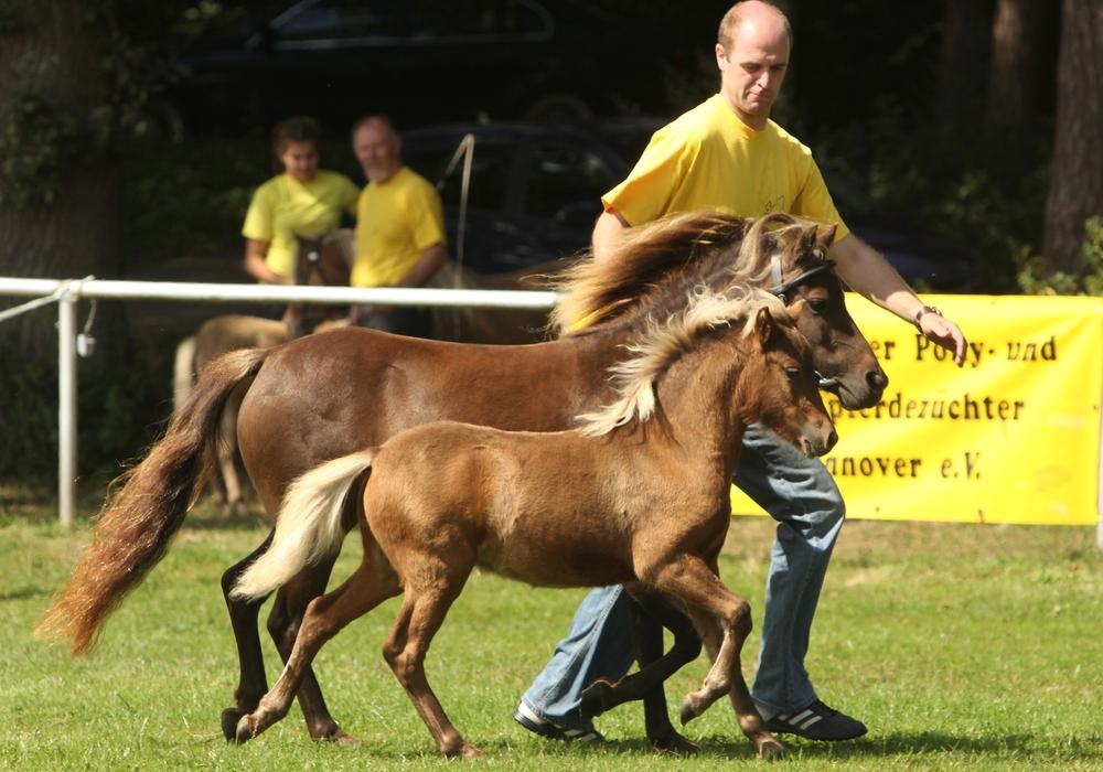 """""""Bacardi MK"""" holt den Sieg Upener Classic Pony-Fohlen gewinnt 1. Platz beim 21. Fohlenchampionat in Steyerberg. Foto: Marianne Schwöb"""
