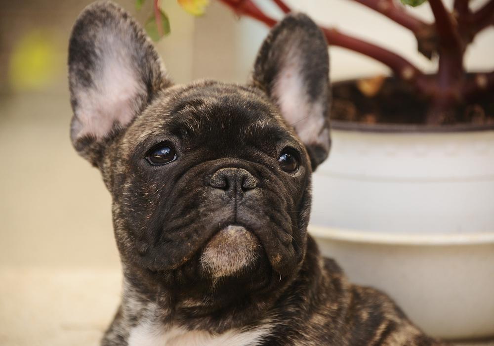 Französische Bulldogge. Foto: pixabay