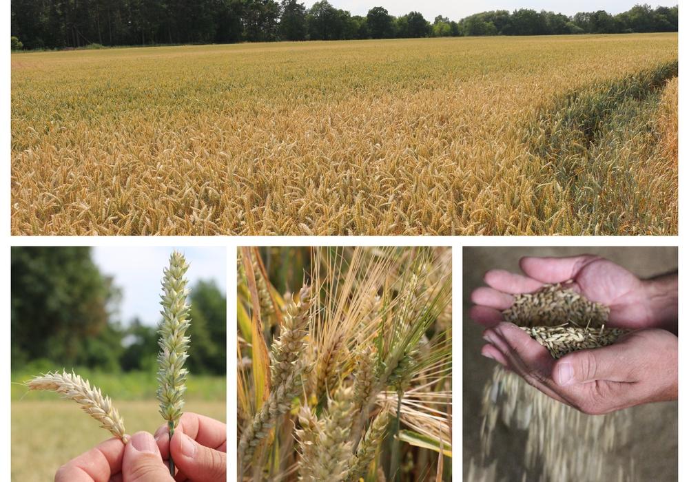 Derzeit sind die Landwirte der Region mitten in der Getreideernte. Doch stellenweise drohen hohe Einbußen. Fotos: Anke Donner