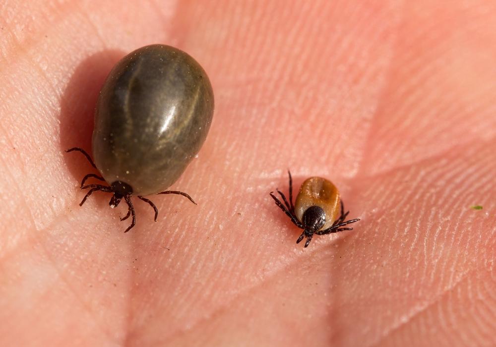 Die kleinen Blutsauger sind auch in unseren Wäldern heimisch. Foto: Archiv