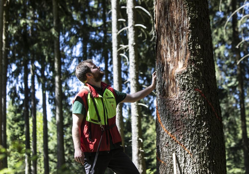 Ein Förster kontrolliert  einen Baum auf Borkenkäferbefall. Fotos: Niedersächsische Landesforsten