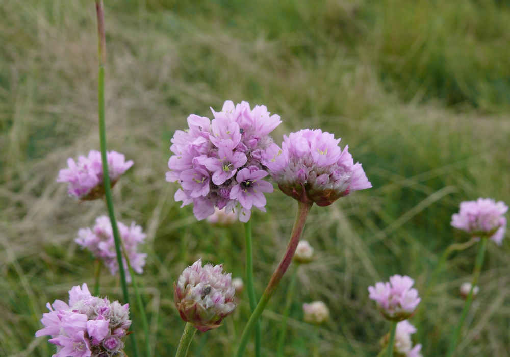 Die Hallersche Grasnelke - eine schwermetallanzeigende Pflanze. Foto: Kison
