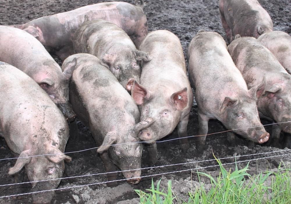 Derzeit machen sich alle Schweinezüchter Sorgen über eine mögliche Ausbreitung der Afrikanischen Schweinepest. Symbolfoto: Jan Weber