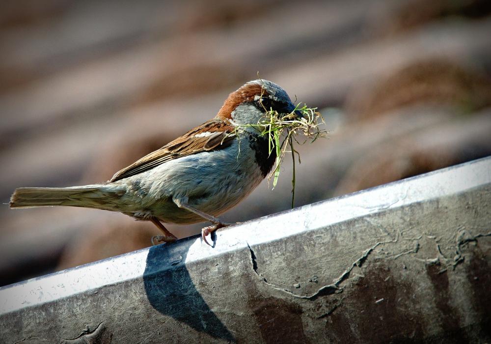Der Spatz, ein typischer Vogel in der Nähe des Menschen. Foto: pixabay
