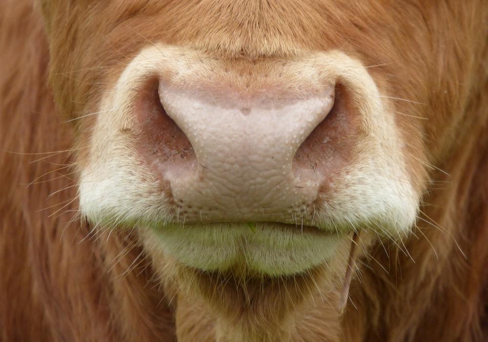 Es gibt eine neue Verordnung zur Rindergesundheit. Symbolfoto: pixabay
