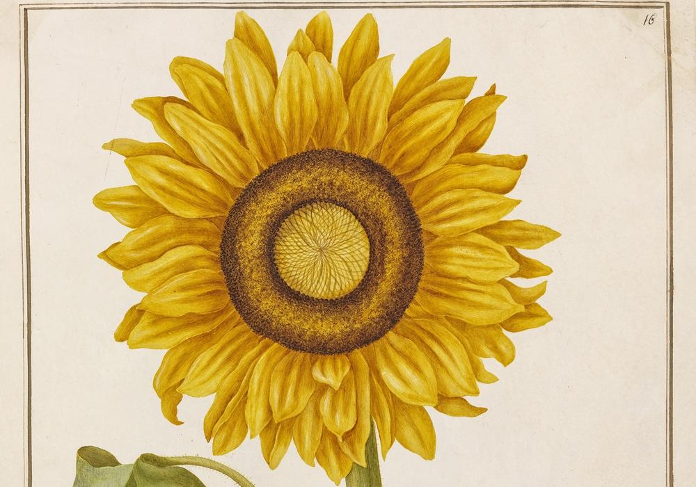 Johanna Helena Herolt, Flor Solis (Sonnenblume), Foto: C. Cordes, HAUM