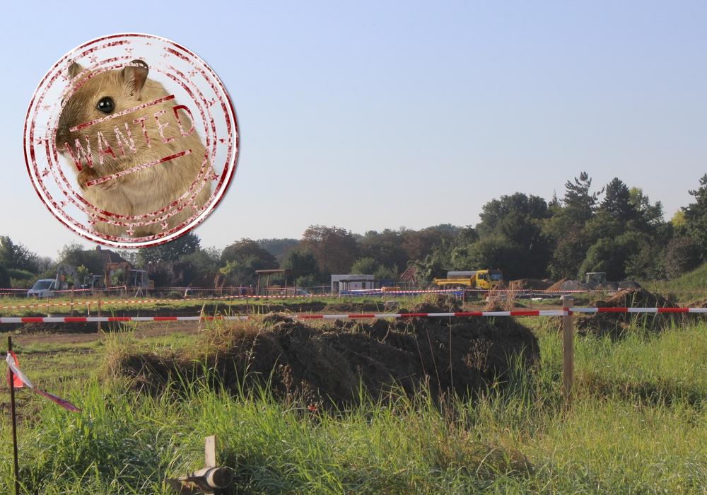 Dem Landkreis liegt eine erneute Sichtung eines Feldhamsters im Baugebiet am Golfplatz in Kissenbrück vor. Foto: Anke Donner