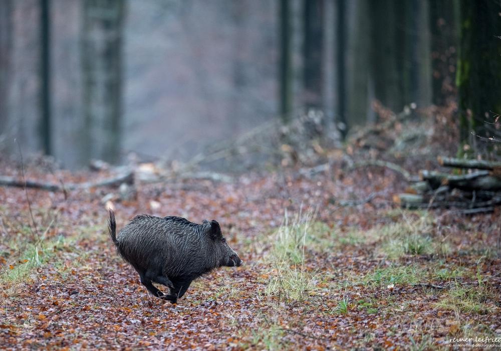 Am kommenden Samstag wird im Wolfsburger Wald wieder eine Beunruhigungsjagd durchgeführt. Foto: Reiner Leifried