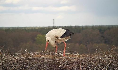 Friederike setzt sich schnell wieder auf das Nest und die Kleinen, damit diese nicht auskühlen.
