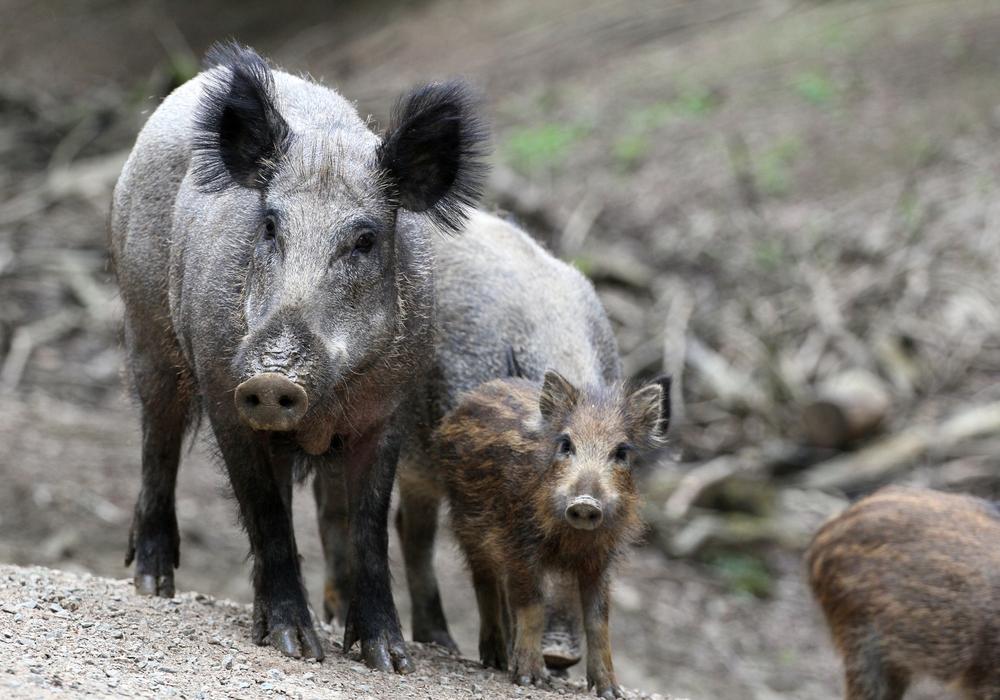 Die Wildschweine sollen laut Jägerschaft intensiver bejagt werden. Foto: Jägerschaft