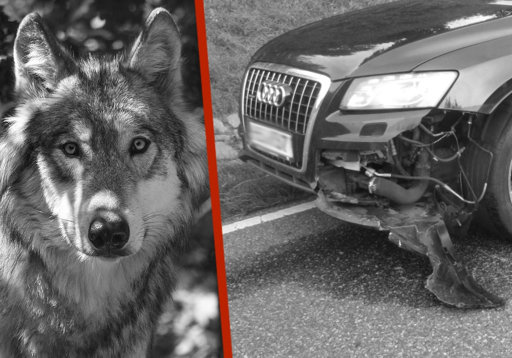 Wer zahlt den Schaden, wenn ein Wolf angefahren wurde? Symbolfoto: pixabay; Polizei