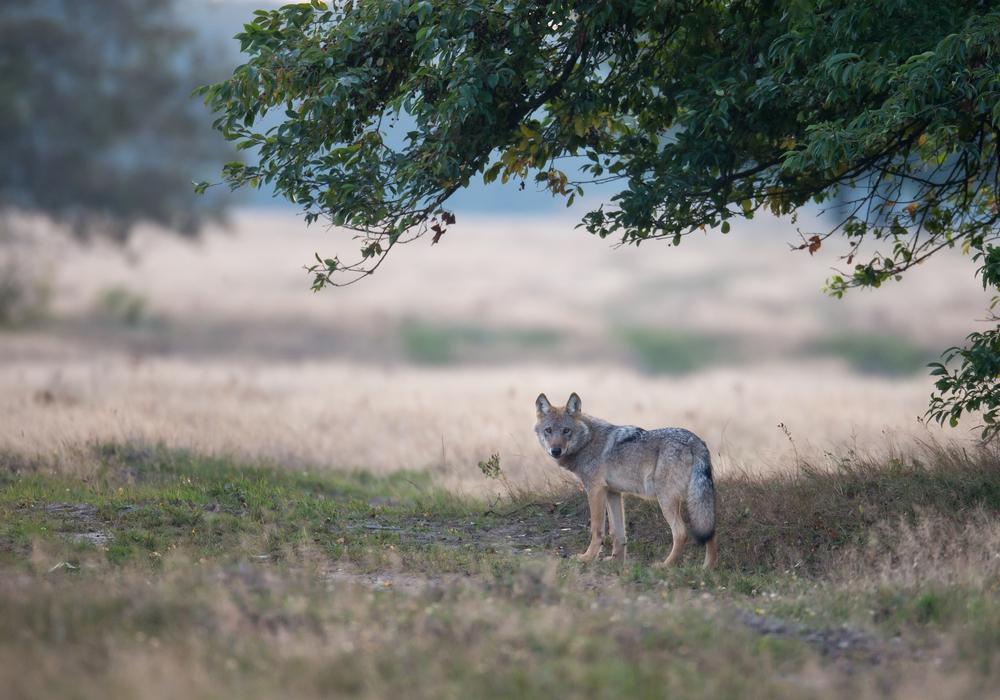 EinWolf am frühen Morgen auf dem Truppenübungsplatz Munster Nord in der Lüneburger Heide. Foto: NABU/Jürgen Borris.