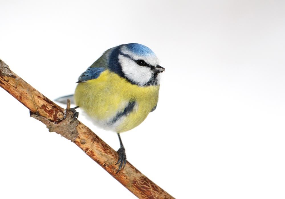 Die possierliche Blaumeise ist in diesem Jahr ein vergleichsweise seltener Gast in den Gärten im Peiner Land. Foto: NABU