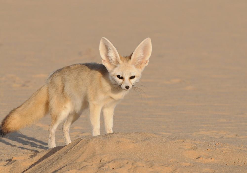 Fennek. Foto: Sahara Conservation Fund