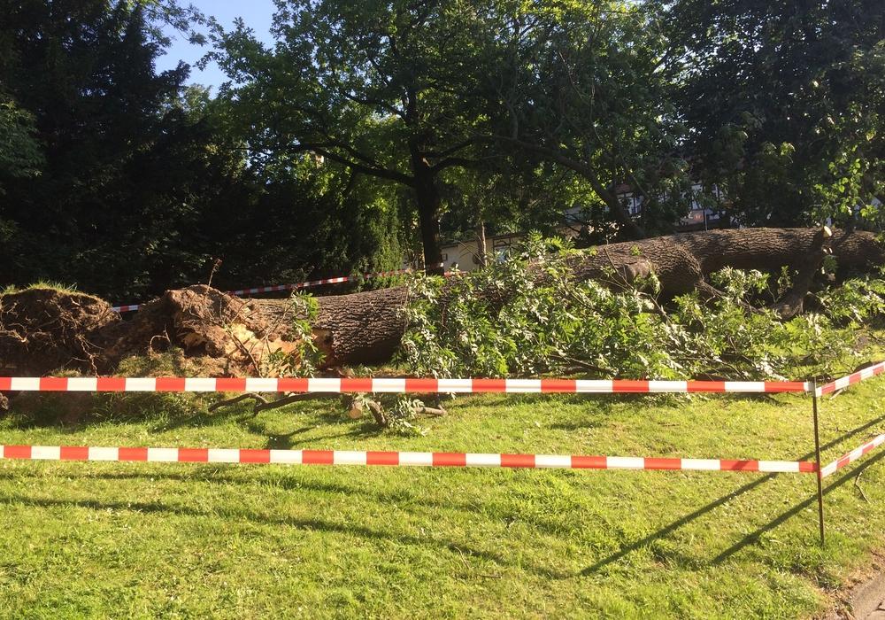 In Goslar sollen 30 Bäume gefällt werden. Viele sind morsch und stellen eine Gefahr dar. Foto: Anke Donner