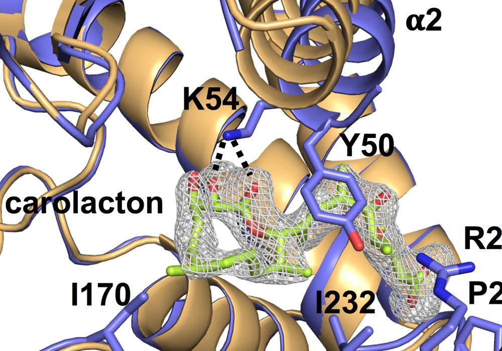 Carolacton oder davon abgeleitete Wirkstoffe könnten künftig als Hemmstoffe in der Krebstherapie zum Einsatz kommen. Foto: Fu et al. 2017