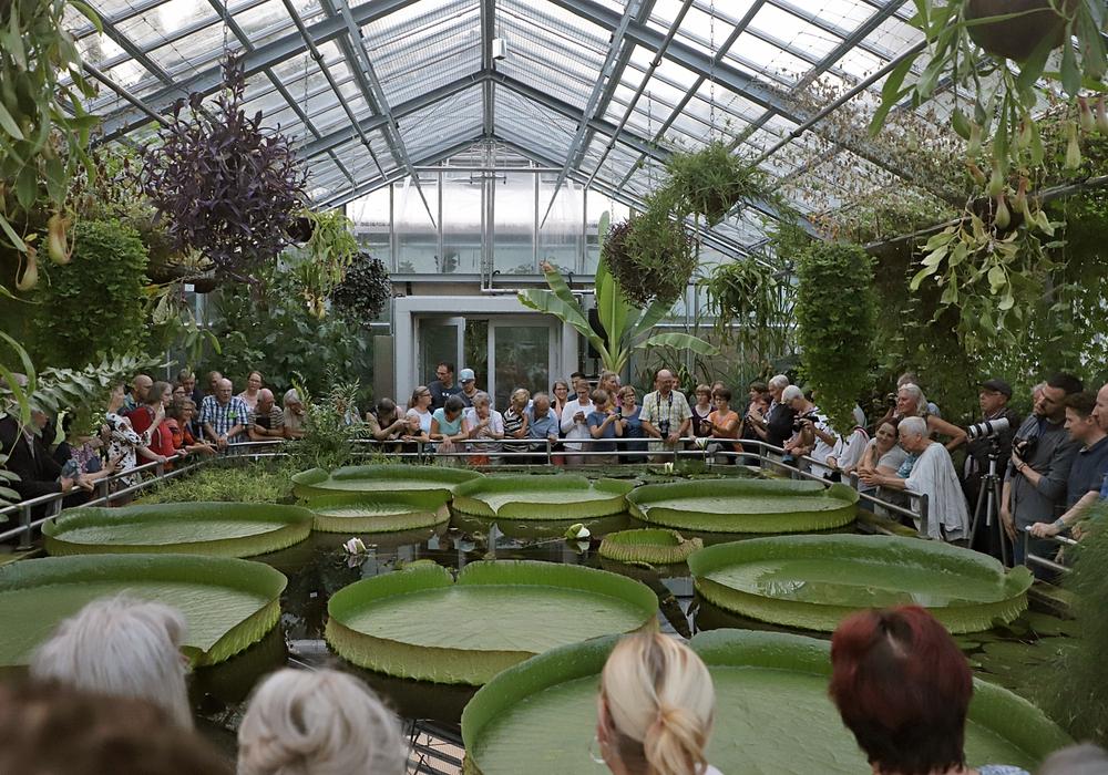 Die Blüte der Victoria cruziana lockte im letzten Jahr zahlreiche Besucher in den Botanischen Garten. Fotos: Marisol Glasserman/TU Braunschweig