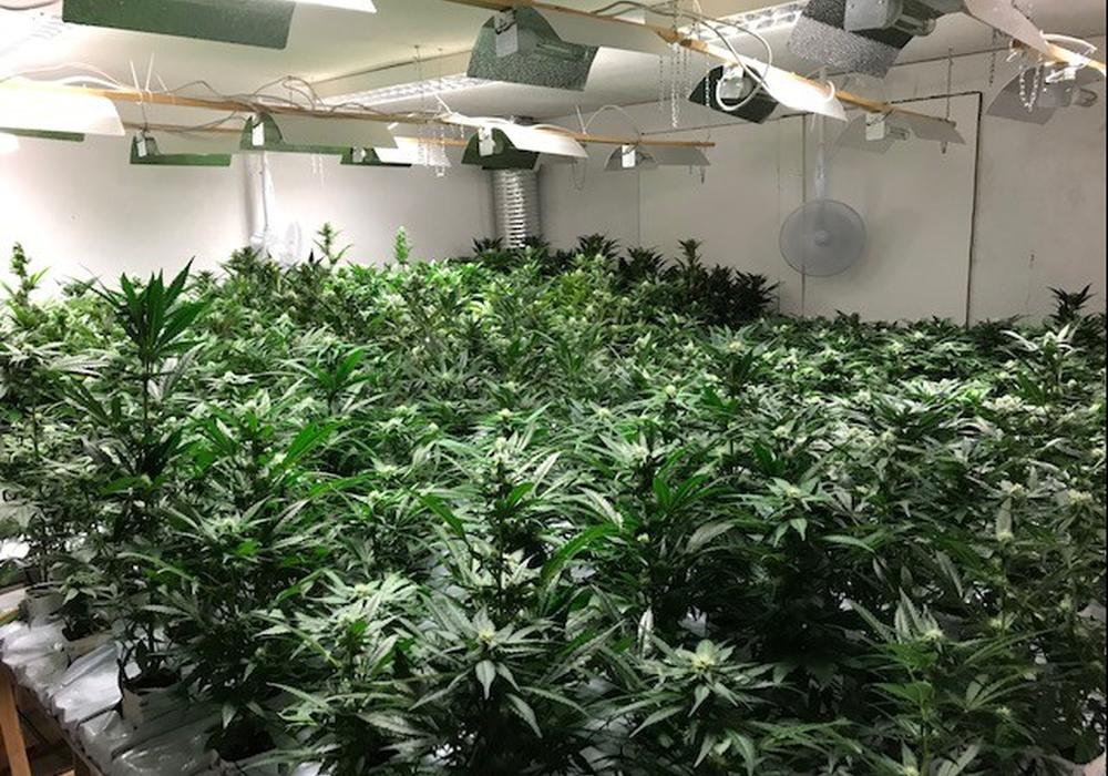 Über 1.300 Pflanzen konnten beschlagnahmt werden. Fotos: Polizeiinspektion Salzgitter/Peine/Wolfenbüttel
