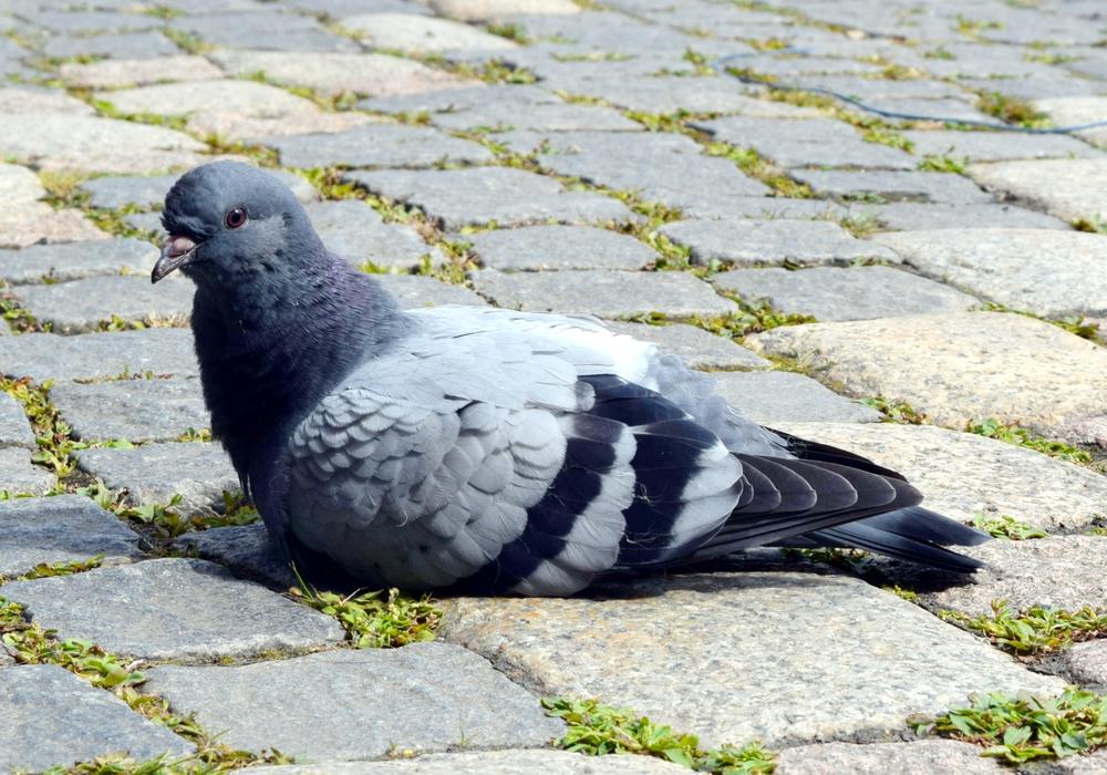 So putzig sie auch aussehen, Tauben zu füttern ist verboten. Foto: Stadt Goslar