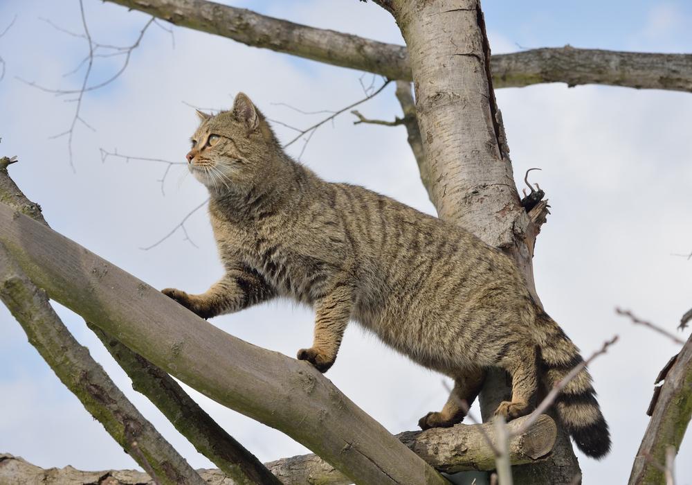 Auch wenn die europäische Wildkatze unseren Hauskatzen sehr ähnelt, handelt es sich doch um eine eigenständige Art. Foto: Thomas Stephan / BUND
