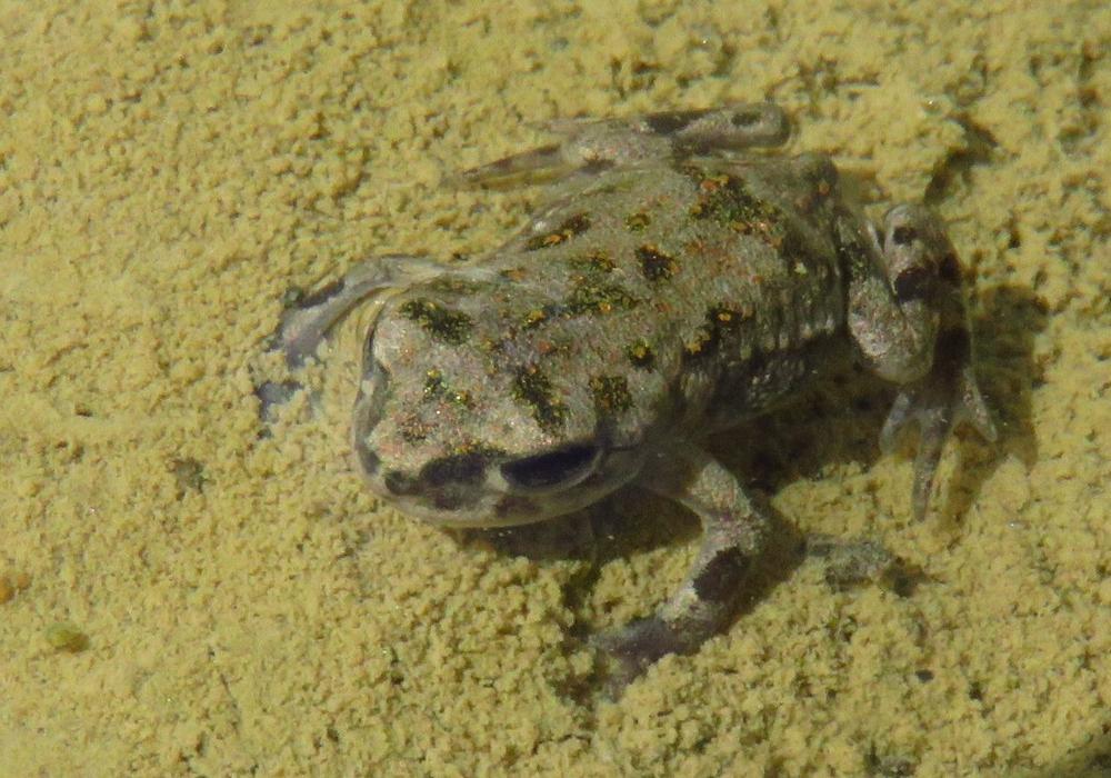 Die bedrohte Wechselkröte. Foto: NABU Niedersachsen