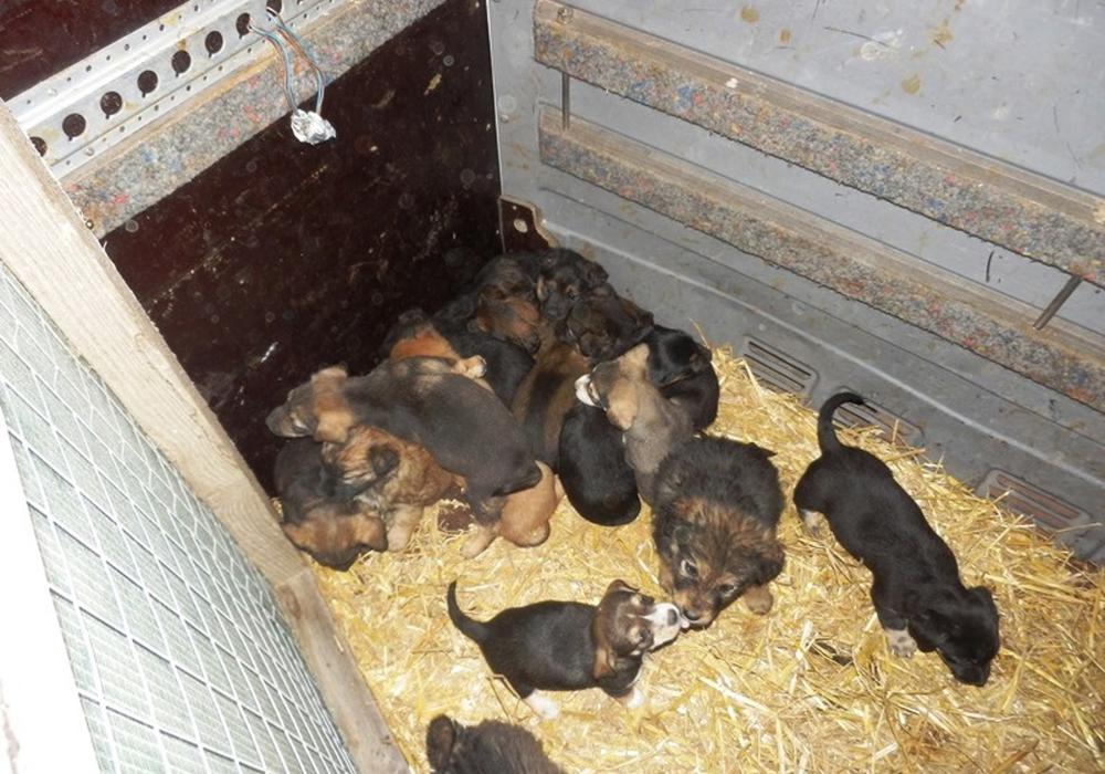 Ohne Essen und Trinken im Transporters: Die kleinen Hunde im Transporter. Fotos: Zoll