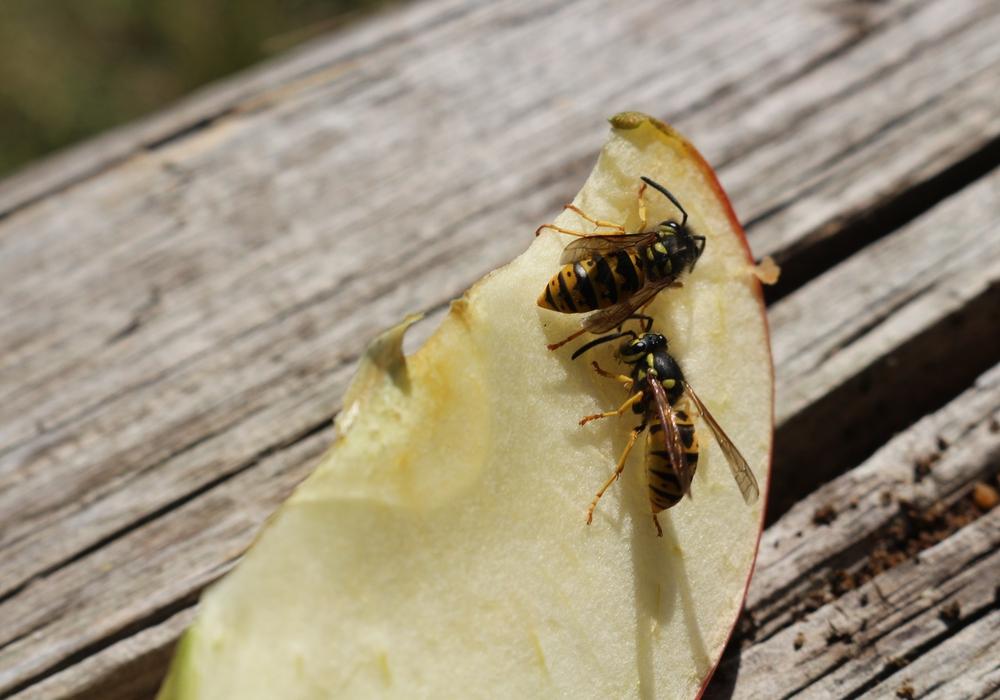 Momentan kann im Freien kaum etwas gegessen werden, ohne das in wenigen Sekunden gleich mehrere Wespen um einen herumschwirren. Foto: Robert Braumann
