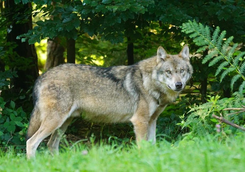 15 Wolfsrudel leben zur Zeit in Niedersachsen. Symbolfoto: Pixapay