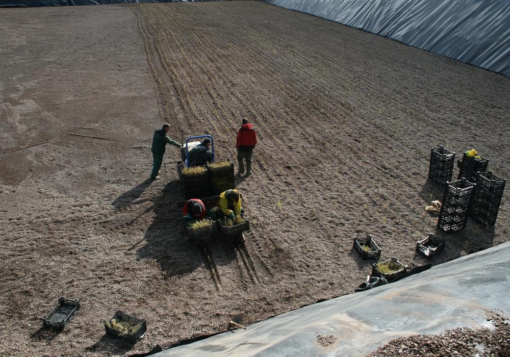 Nach dem Vorbild der Landwirtschaft wurden in den vergangenen Wochen rund 28.000 Schilfgewächse unter Zuhilfenahme einer Setzmaschine eingepflanzt.