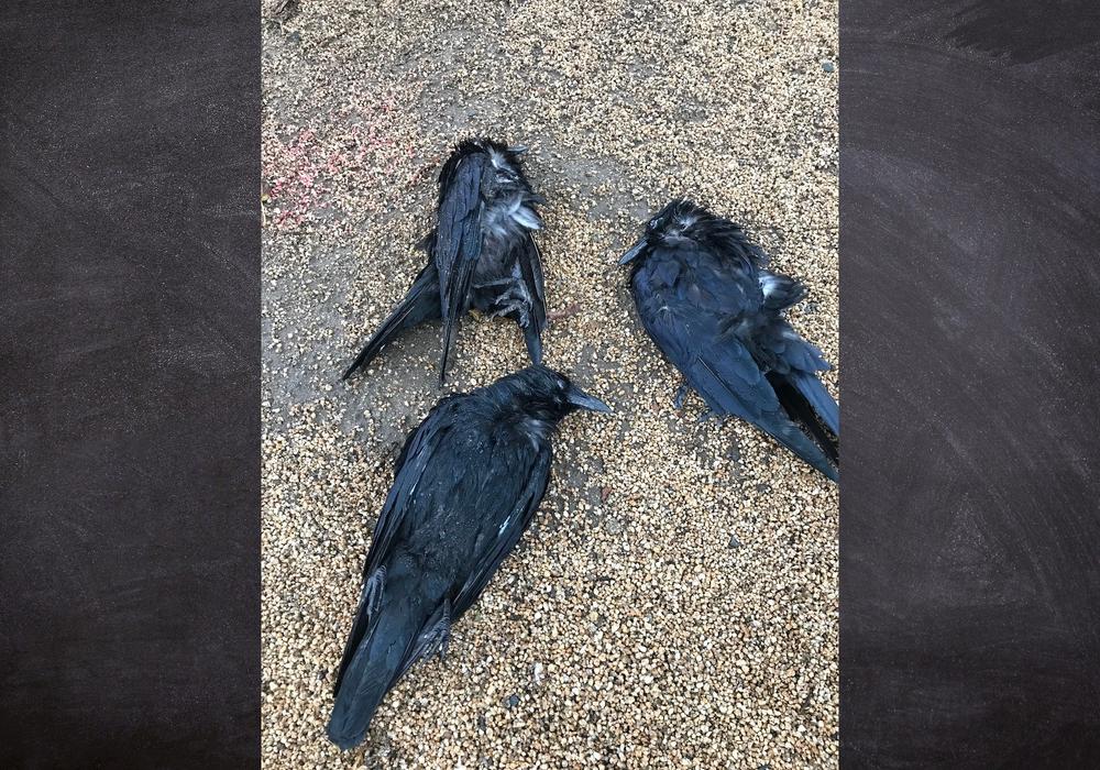 Drei tote Krähen wurden vor dem Schloss gefunden. Eine weitere am Steinweg.