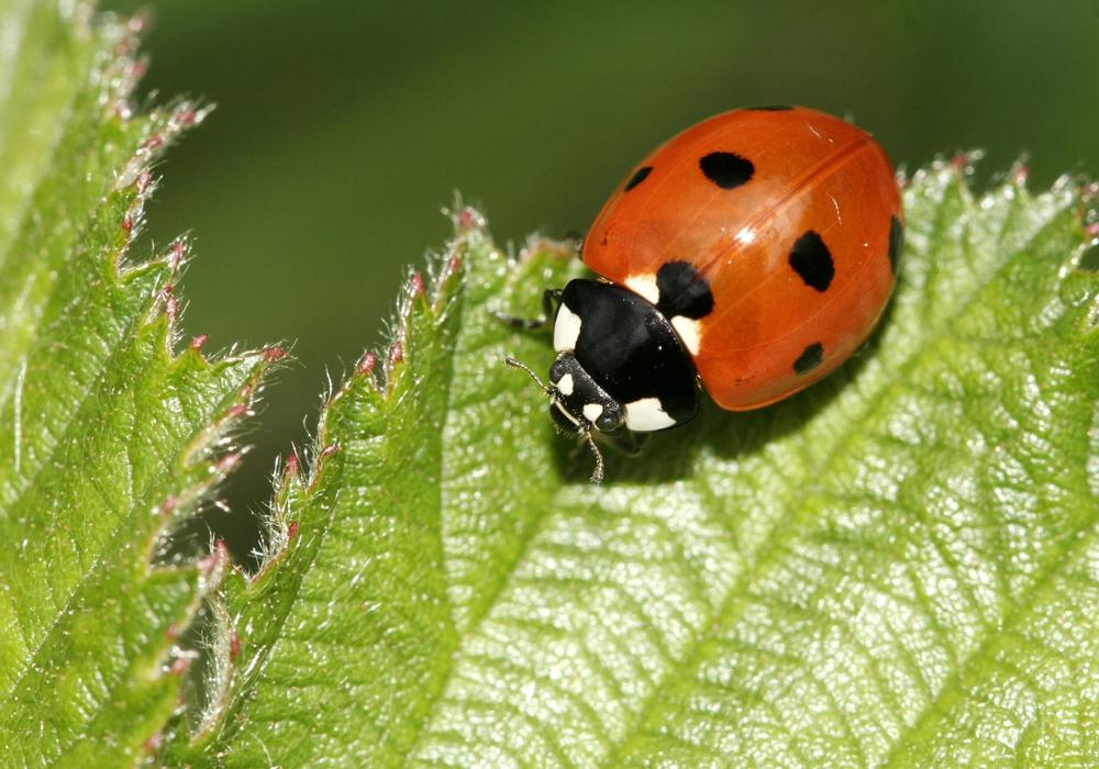 Der kleine Marienkäfer hilft auch bei Blattlausbefall.
