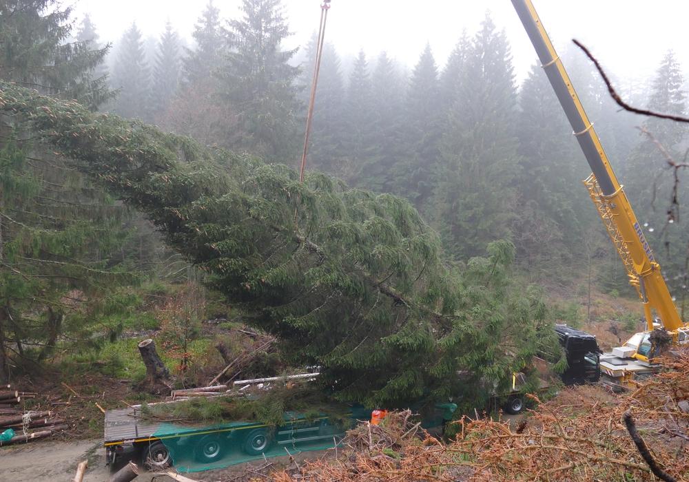 Die Fällung und Verladung der bis zu 25 Meter hohen Bäume ist aufwendig.