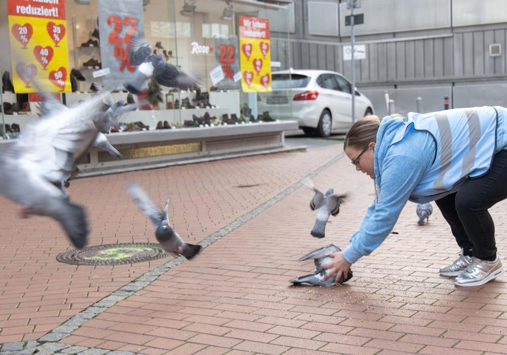 Traumberuf Taubenpflücker: Mit einem geschickten Griff lassen sich die Vögel auch per Hand fangen.