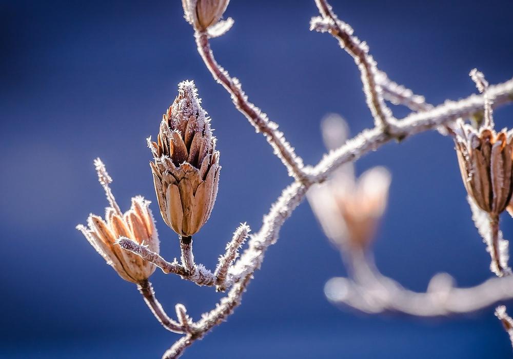 Der Frost betrifft auch die Knospen.