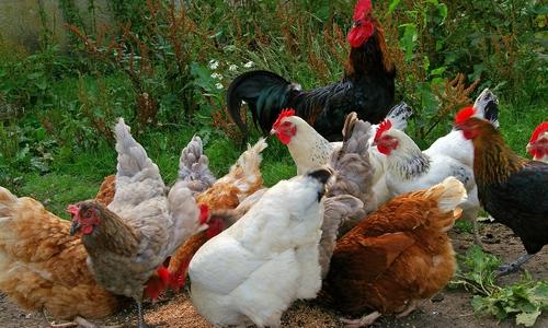 Hühner sorgen für die Ostereier.