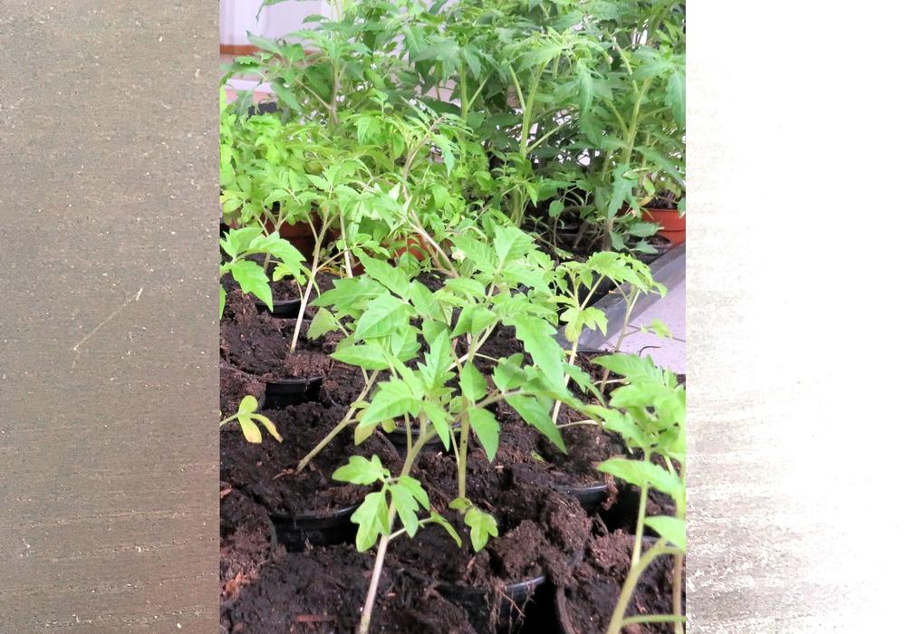 Die Flechtorfer Tomatenpflanzen im Rathaus in Lehre.
