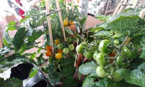 In vielen Baumärkten tragen die Pflanzen derzeit schon Früchte, doch wie genießbar sind diese eigentlich?
