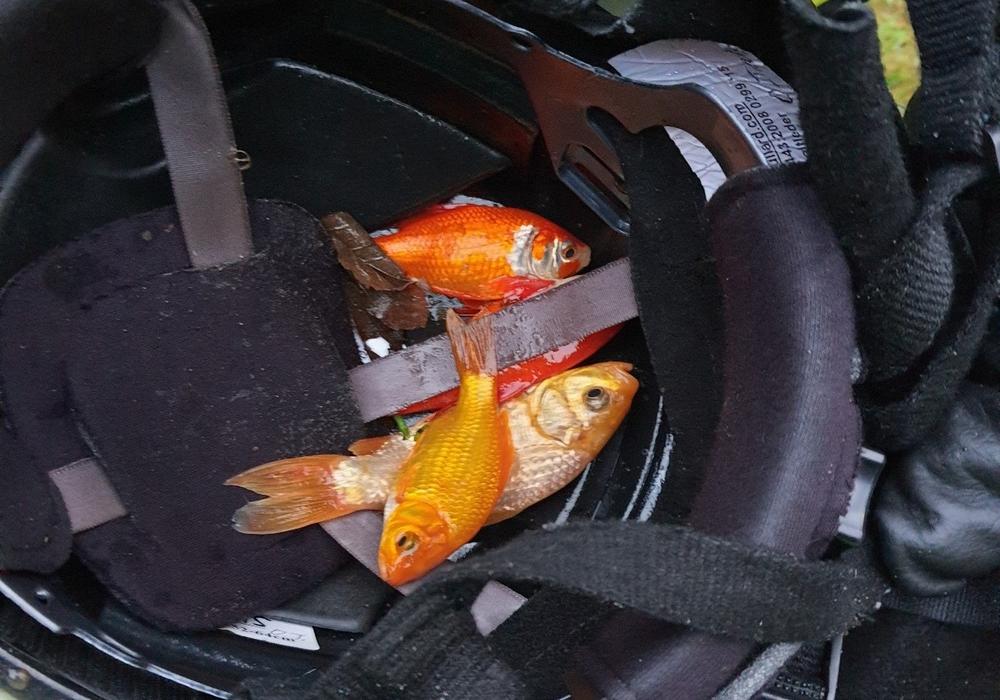 Die Fische konnten anschließend wieder in ihren Teich zurückgesetzt werden.