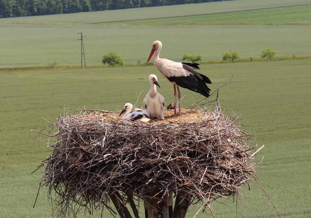 Die Storchenpopulation hat sich in den letzten Jahren vergrößert. Symbolbild.