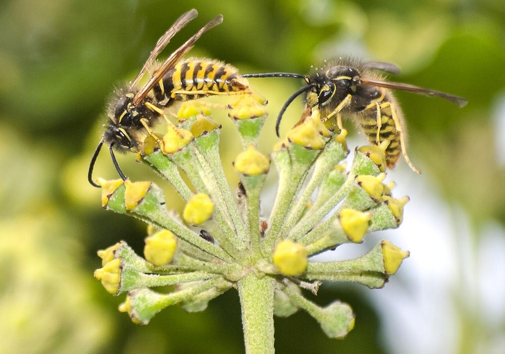 Wespen möchten nicht angepustet werden.