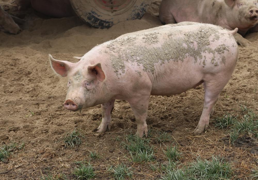 Für Schweine ist die Afrikanische Schweinepest eine ernsthafte Gefahr.