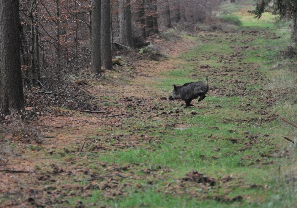 Die großflächige Jagd dient insbesondere der Reduktion der Schwarzwildbestände.