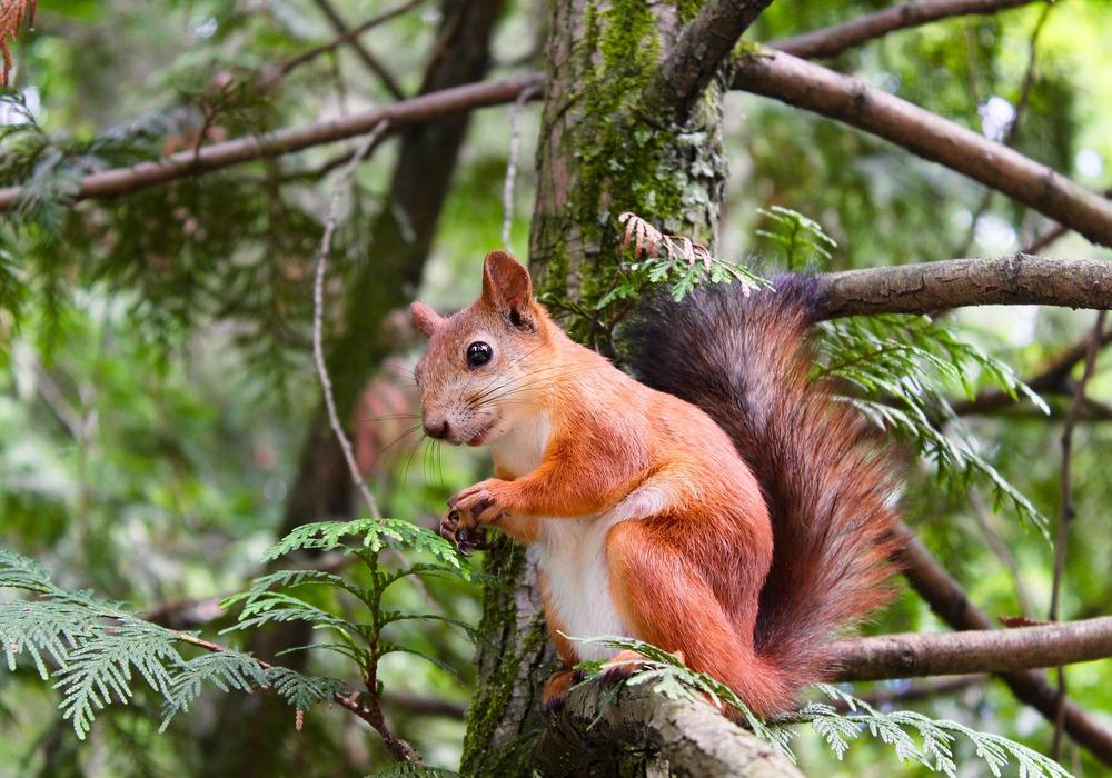 Das Eichhörnchen ist das Maskottchen von BürgerSport im Park / Symbolfoto