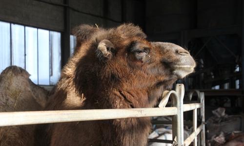 Auch Kamele gehören zum Circus Rudolf Busch.